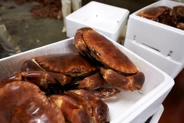 Crab – Cancer Pagurus